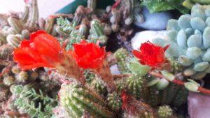 Rat Cactus